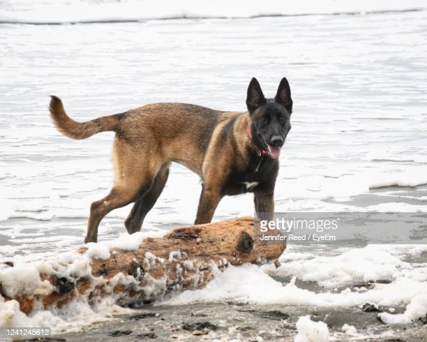 dog on beach by sea - jennifer reed stock pictures, royalty-free photos & images