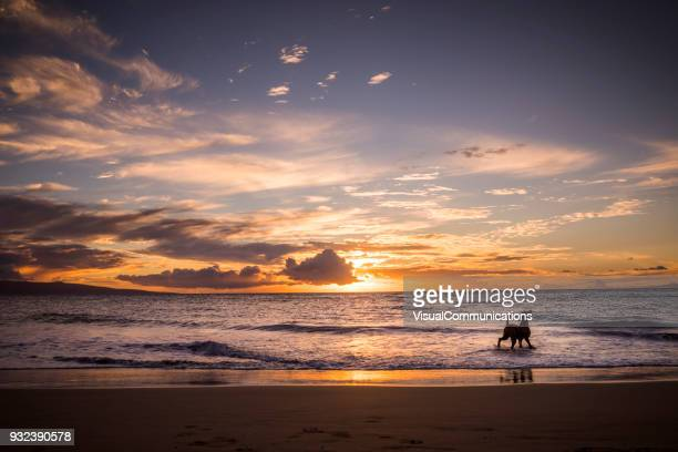 dog on beach in maui. - sunset beach stock photos and pictures