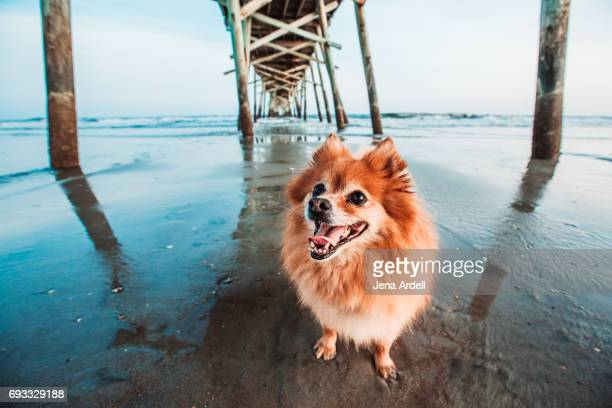 dog on beach - pomeranian stock photos and pictures
