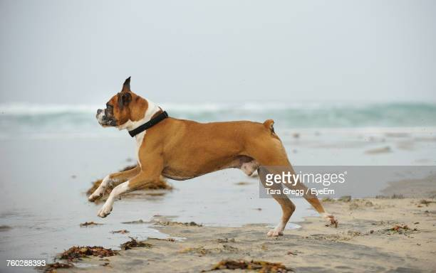 dog on beach - boxer dog stock pictures, royalty-free photos & images