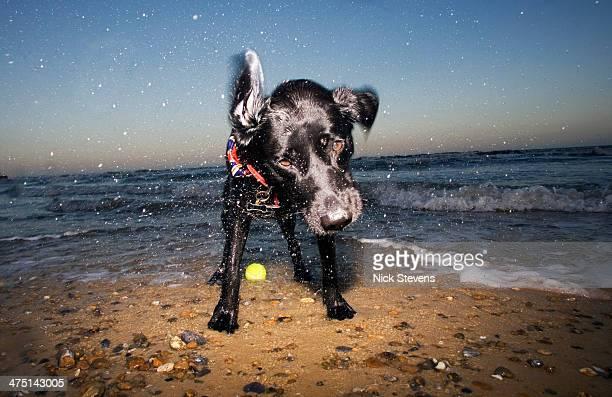 Dog on beach, Walberswick, Suffolk, England, UK