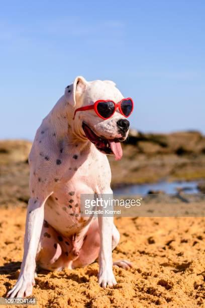 dog on beach wearing heart sunglasses - american bulldog stockfoto's en -beelden