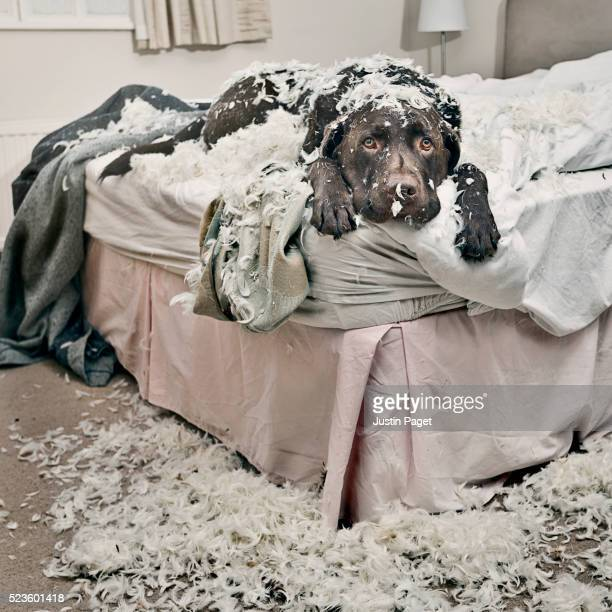 dog on bed covered in feathers - mischief stock pictures, royalty-free photos & images