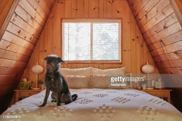 dog on bed in a-frame house - heshphoto stock pictures, royalty-free photos & images