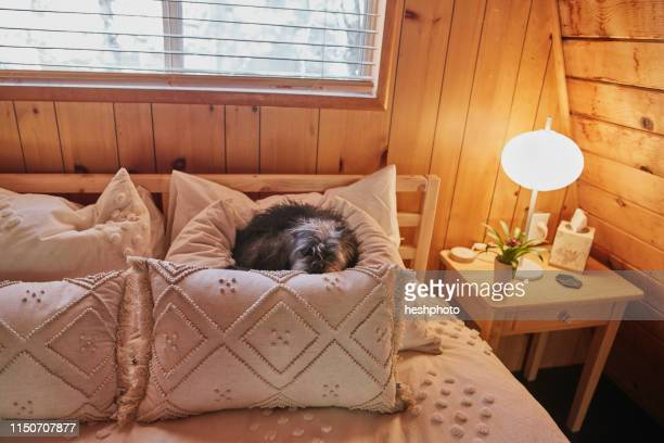 dog on bed - heshphoto stock pictures, royalty-free photos & images