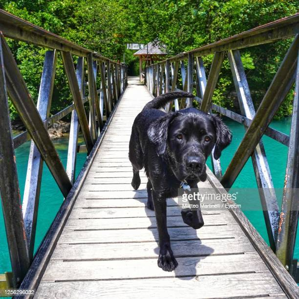 dog on bridge - martinelli stock pictures, royalty-free photos & images