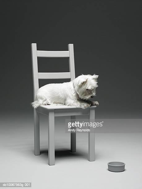 Dog on chair looking at dog bowl
