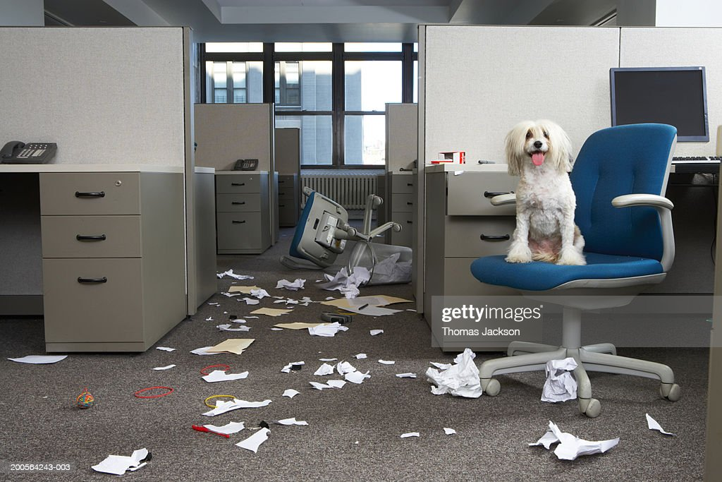 Dog On Chair Messy Office Stock Photo Getty Images
