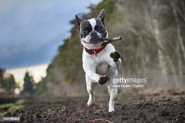 dog on field - approaching stock pictures, royalty-free photos & images
