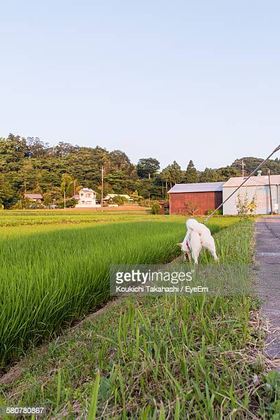 Dog On Grass By Road Against Clear Sky