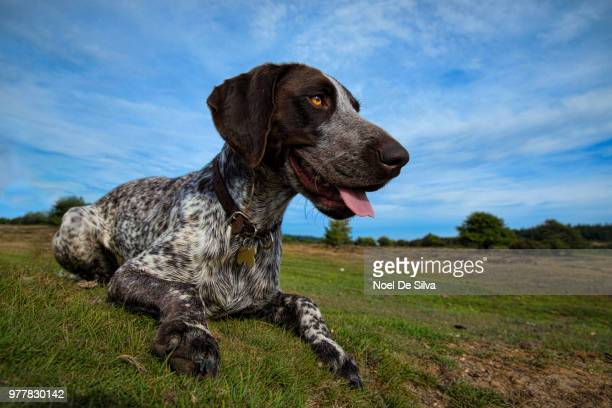dog on grass, new forest national park, southampton, hampshire, uk - german shorthaired pointer stock pictures, royalty-free photos & images