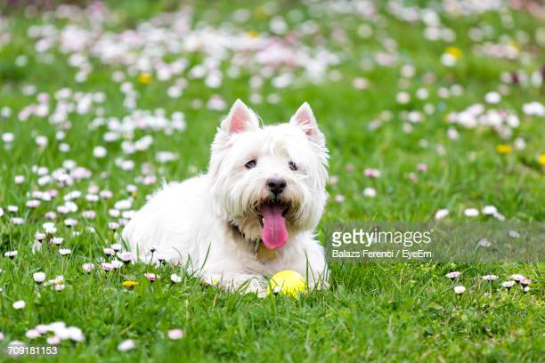 Dog On Grassy Field