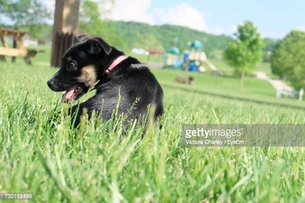 dog on grassy field - charley green stock photos and pictures