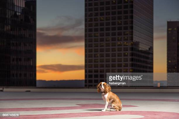 Dog on Helipad at Sunset