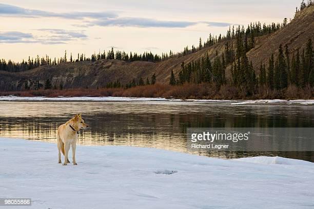 Dog on Iceflow