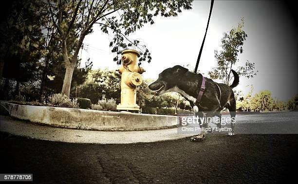 dog on leash walking on road - fire hydrant stock pictures, royalty-free photos & images