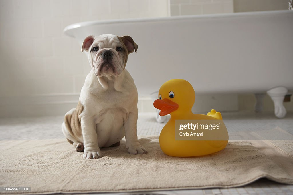 Dog on mat with plastic duck : Stock Photo
