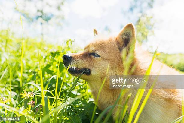 dog on meadow - guard dog stock photos and pictures