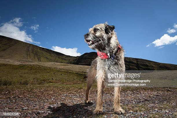 dog on mountain walk in wales. - border terrier stock pictures, royalty-free photos & images