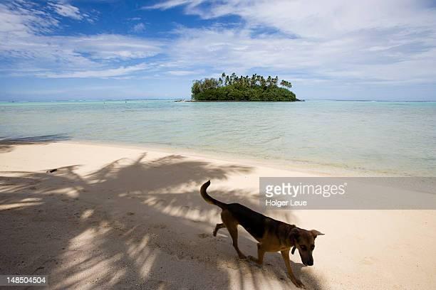Dog on Muri Beach with Taakoka motu in Muri Lagoon.