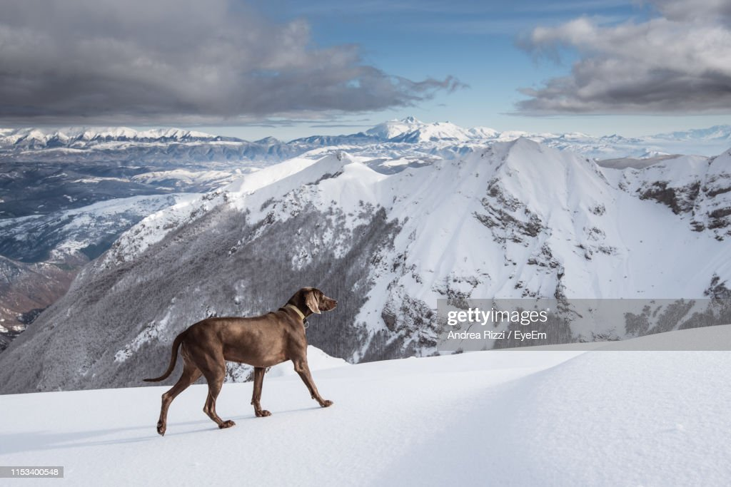 Dog On Snow Covered Mountain : Foto stock