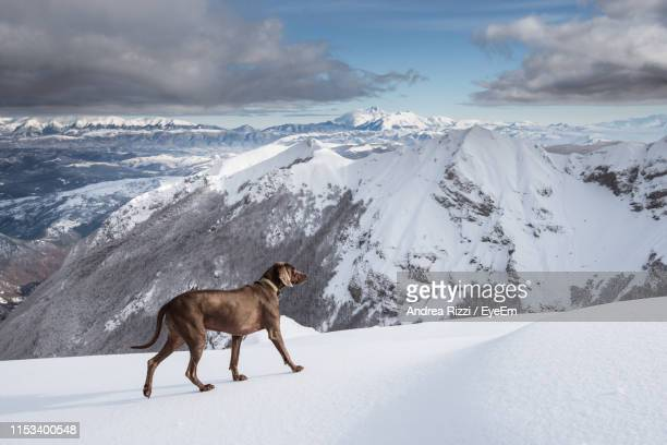 dog on snow covered mountain - andrea rizzi stock pictures, royalty-free photos & images