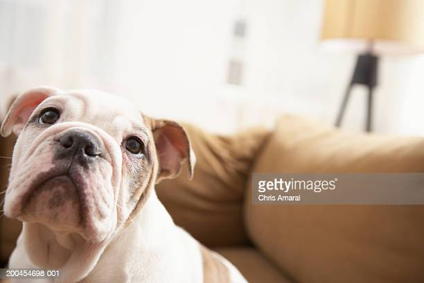 dog on sofa - boxer dog stock pictures, royalty-free photos & images