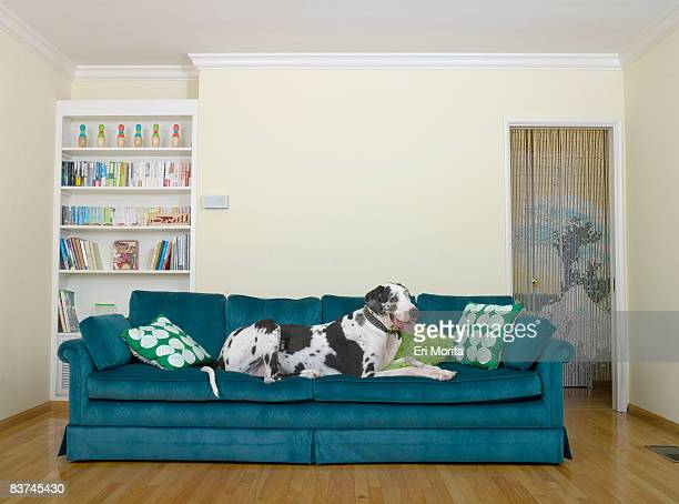 dog on sofa - great dane stock pictures, royalty-free photos & images