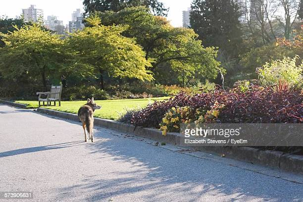 dog on standing on road at park - coyote stock pictures, royalty-free photos & images