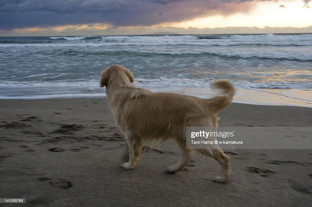 Dog on sunset beach : Stock Photo