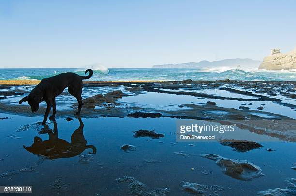 dog on the beach at cape kiwanda - dan sherwood photography stock pictures, royalty-free photos & images