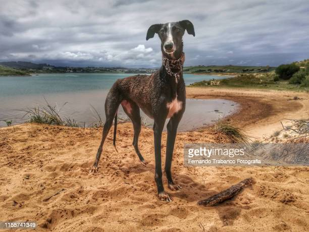 dog on the beach - hound stock pictures, royalty-free photos & images