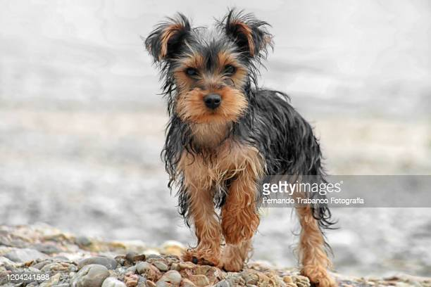 dog on the beach - yorkshire terrier stock pictures, royalty-free photos & images