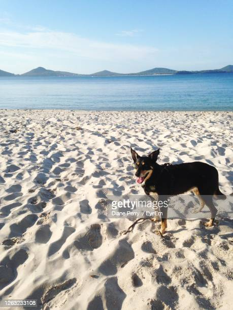 dog on the beach - australian kelpie stock pictures, royalty-free photos & images
