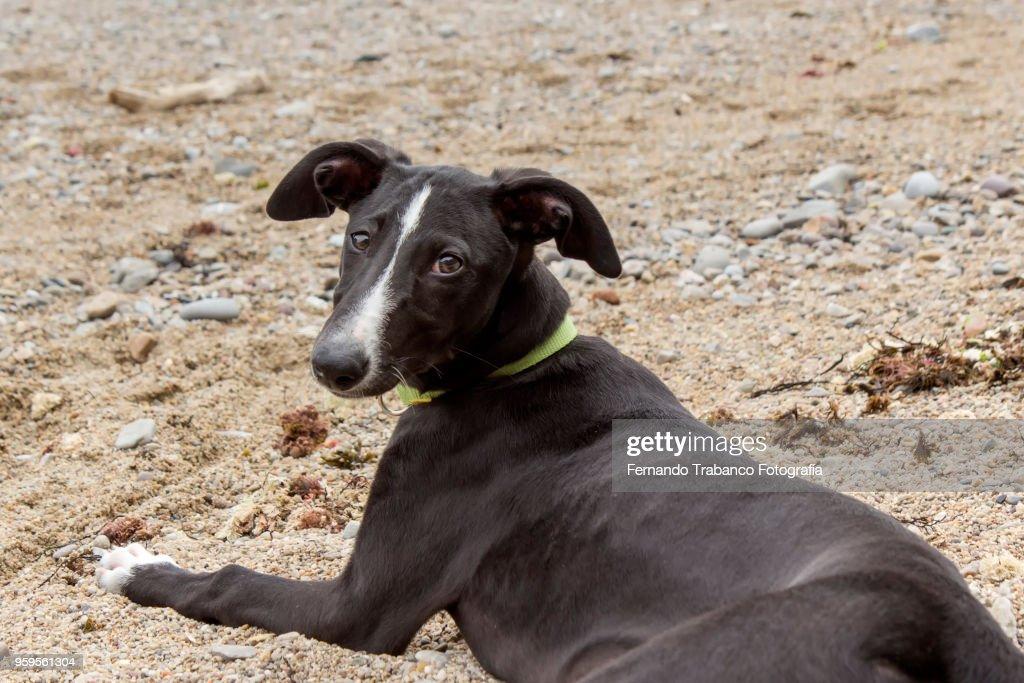 Dog on the beach : Stock-Foto