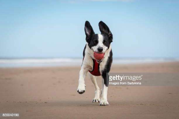 dog on the beach playing fetch with a ball - northumberland stock pictures, royalty-free photos & images