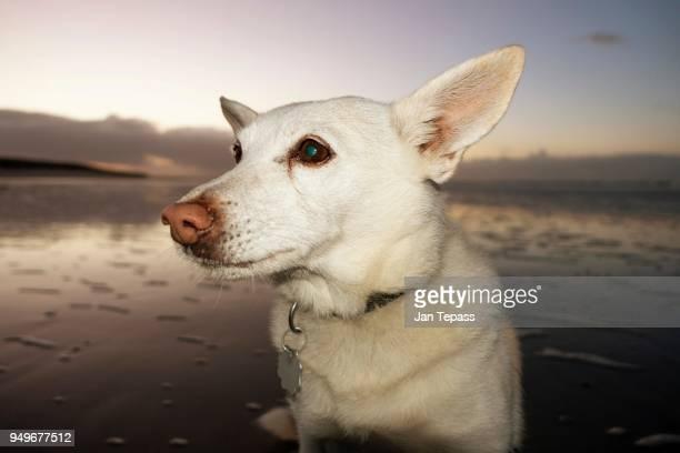 dog on the beach, portrait, langeoog, lower saxony, germany - insel langeoog stock-fotos und bilder
