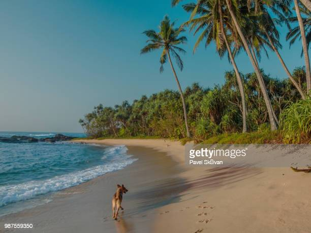 dog on the beach,tropical beach in sri lanka. - lanka stock pictures, royalty-free photos & images