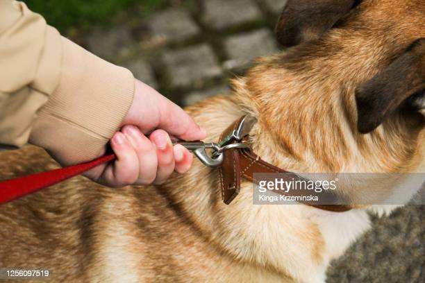 dog on the leash - pet lead stock pictures, royalty-free photos & images