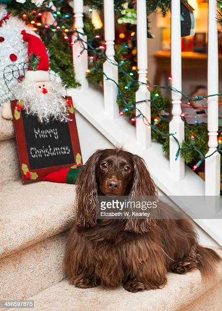 dog on the stairs - dachshund christmas stock pictures, royalty-free photos & images