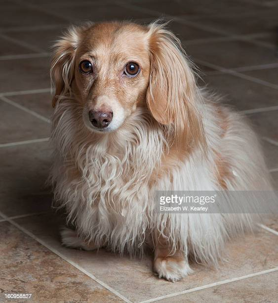 dog on tile floor - long haired dachshund stock photos and pictures