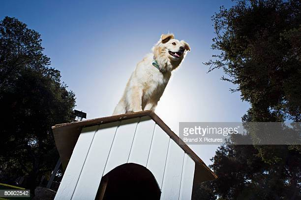Dog on top of doghouse