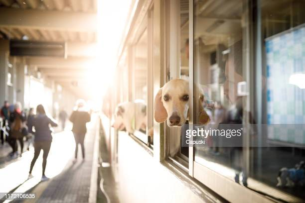 cão no indicador do trem - animal doméstico - fotografias e filmes do acervo