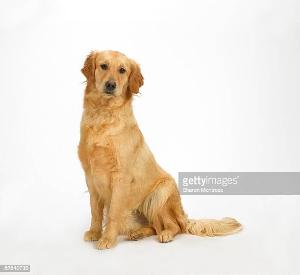 dog on white 121 - golden retriever photos et images de collection