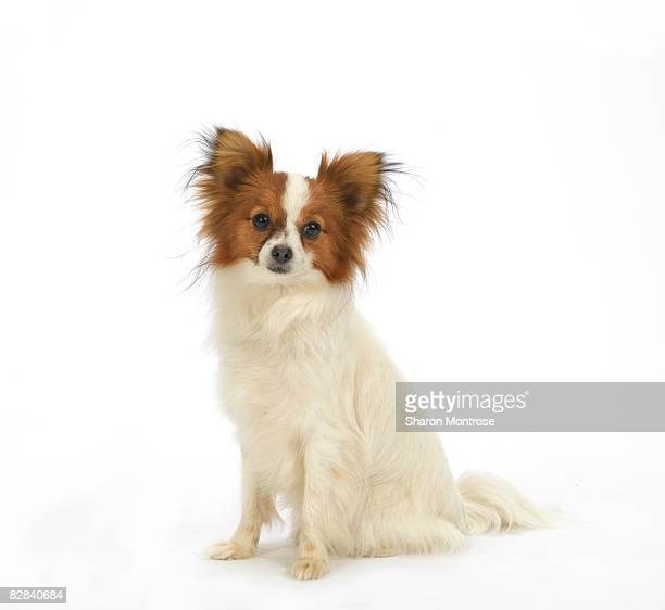 dog on white 7 - papillon dog stock photos and pictures