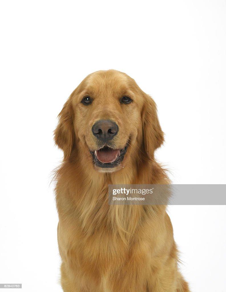 Dog on White 90 : Foto de stock