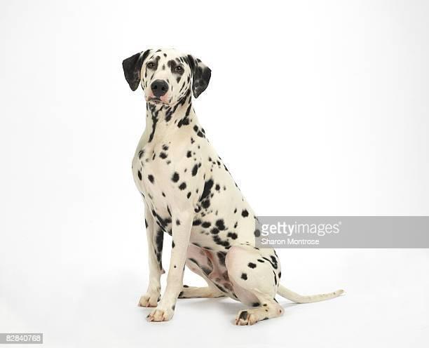 Dog on White 91