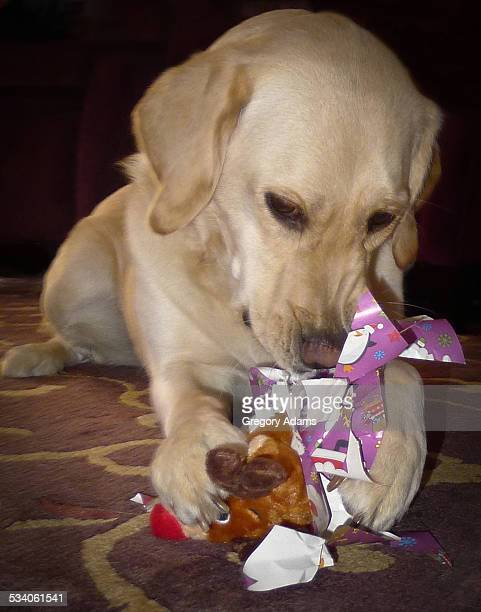 A dog opening a Christmas present
