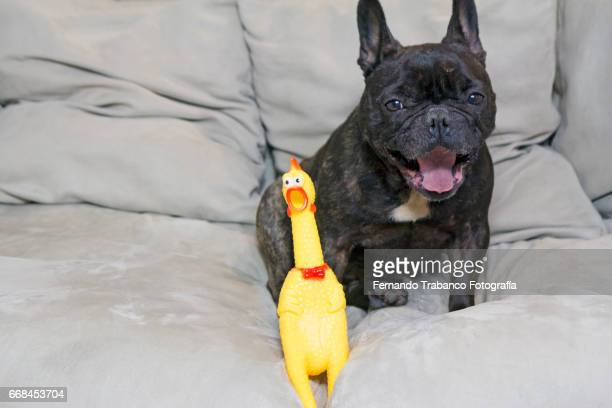 dog opens mouth the same as toy chicken opens mouth - funny rooster stock photos and pictures