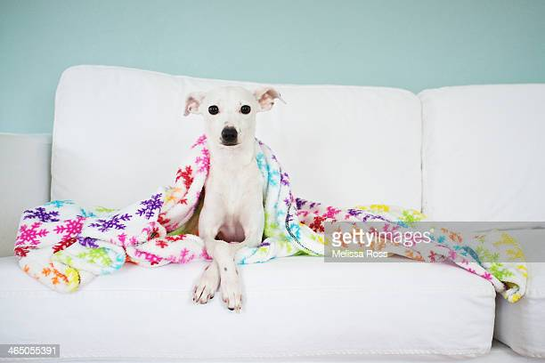Dog or puppy posed under a blanket on a couch